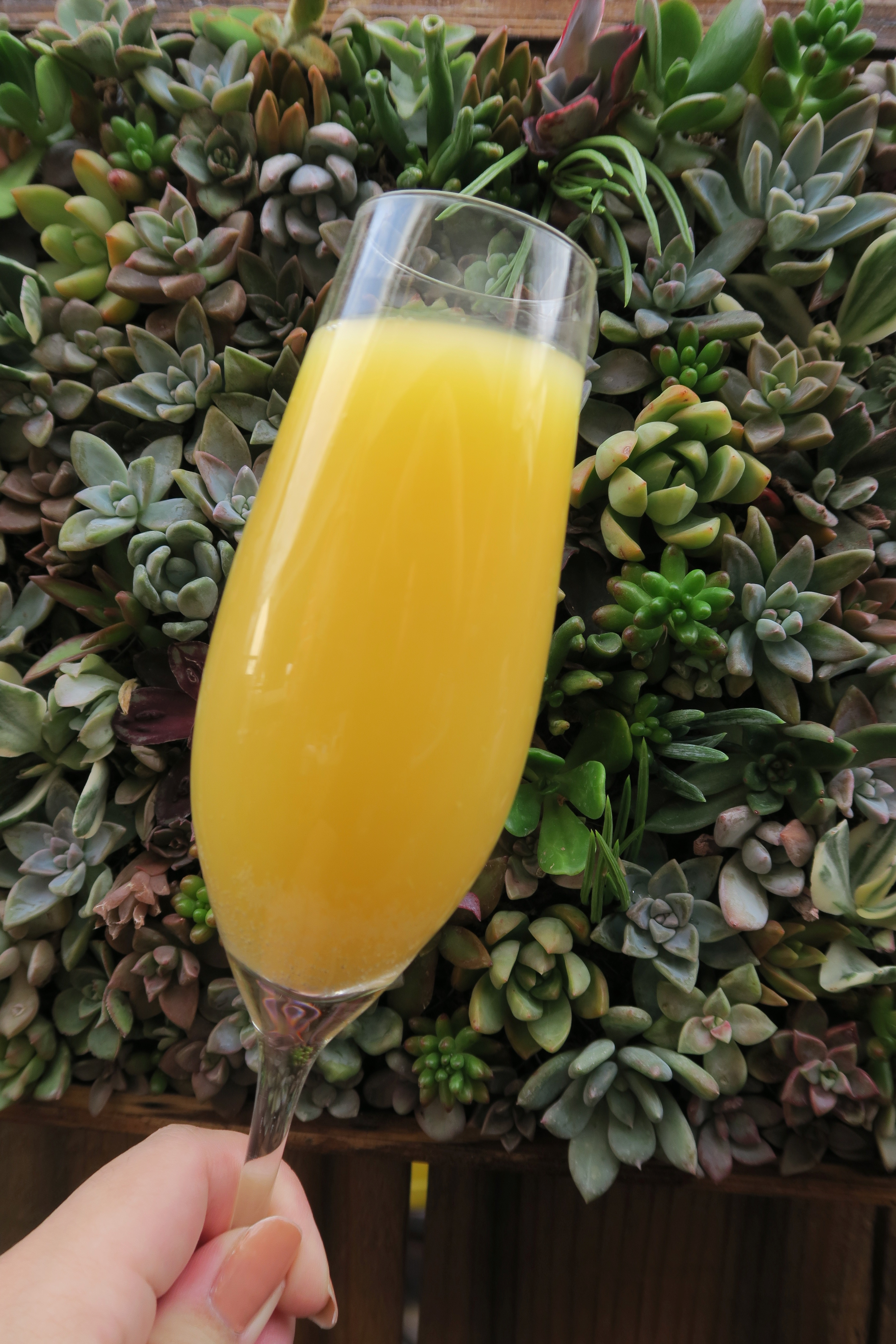 A mimosa in front of a succulent wall